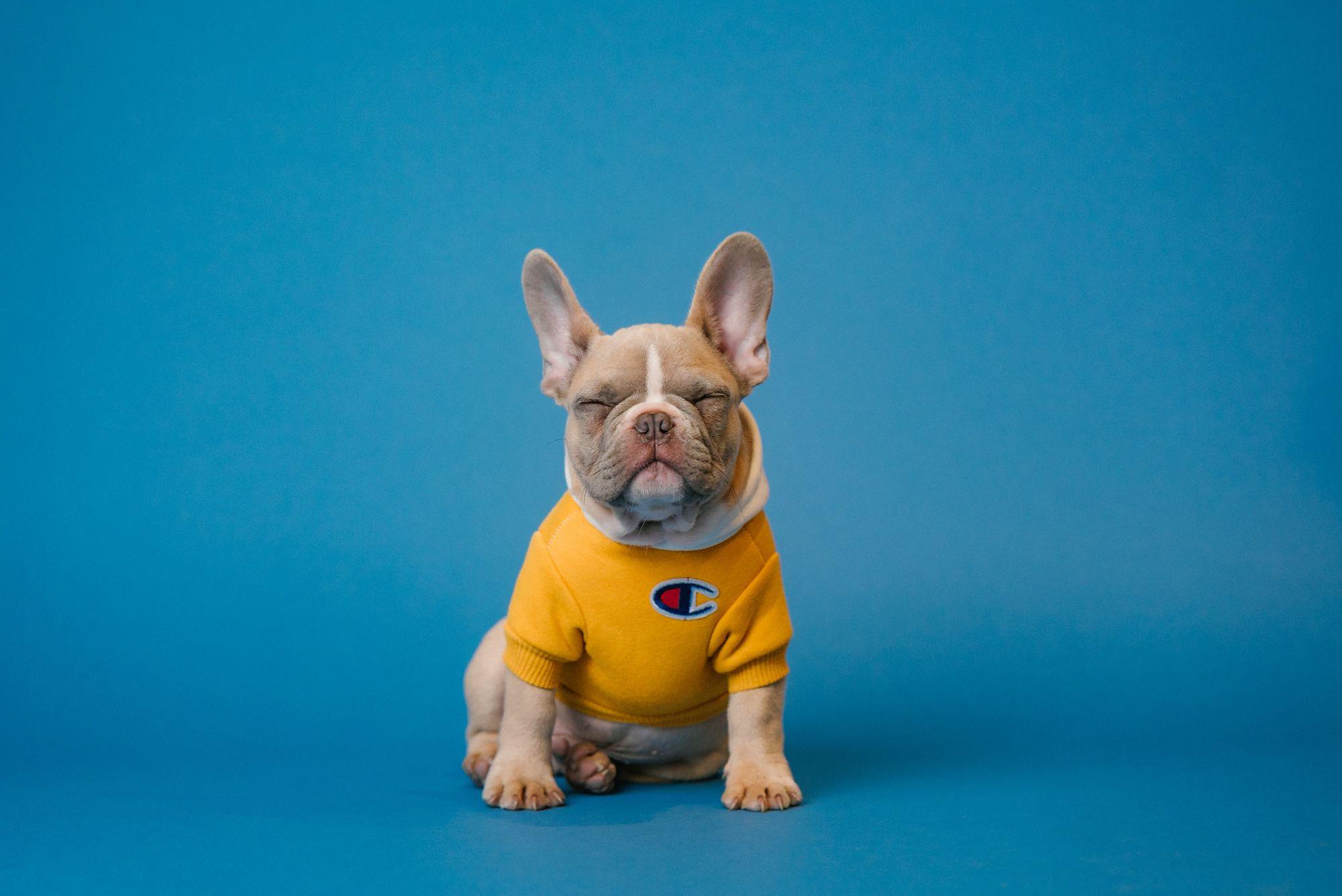 french bulldog - unsplash source