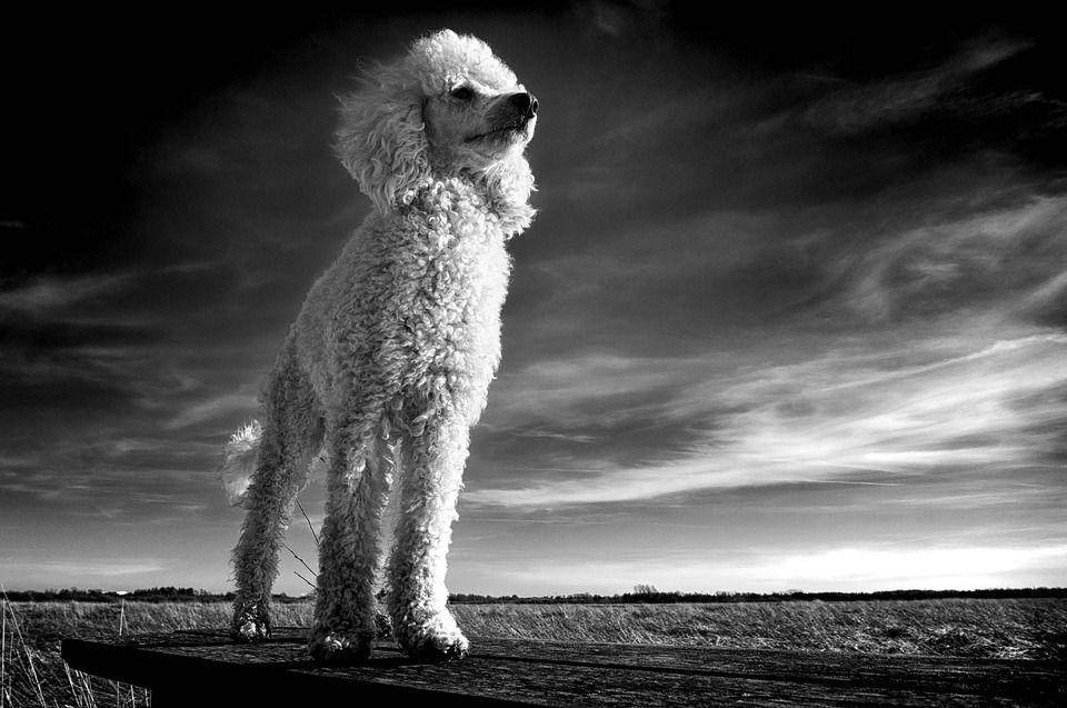 the-poodle-3414131_960_720