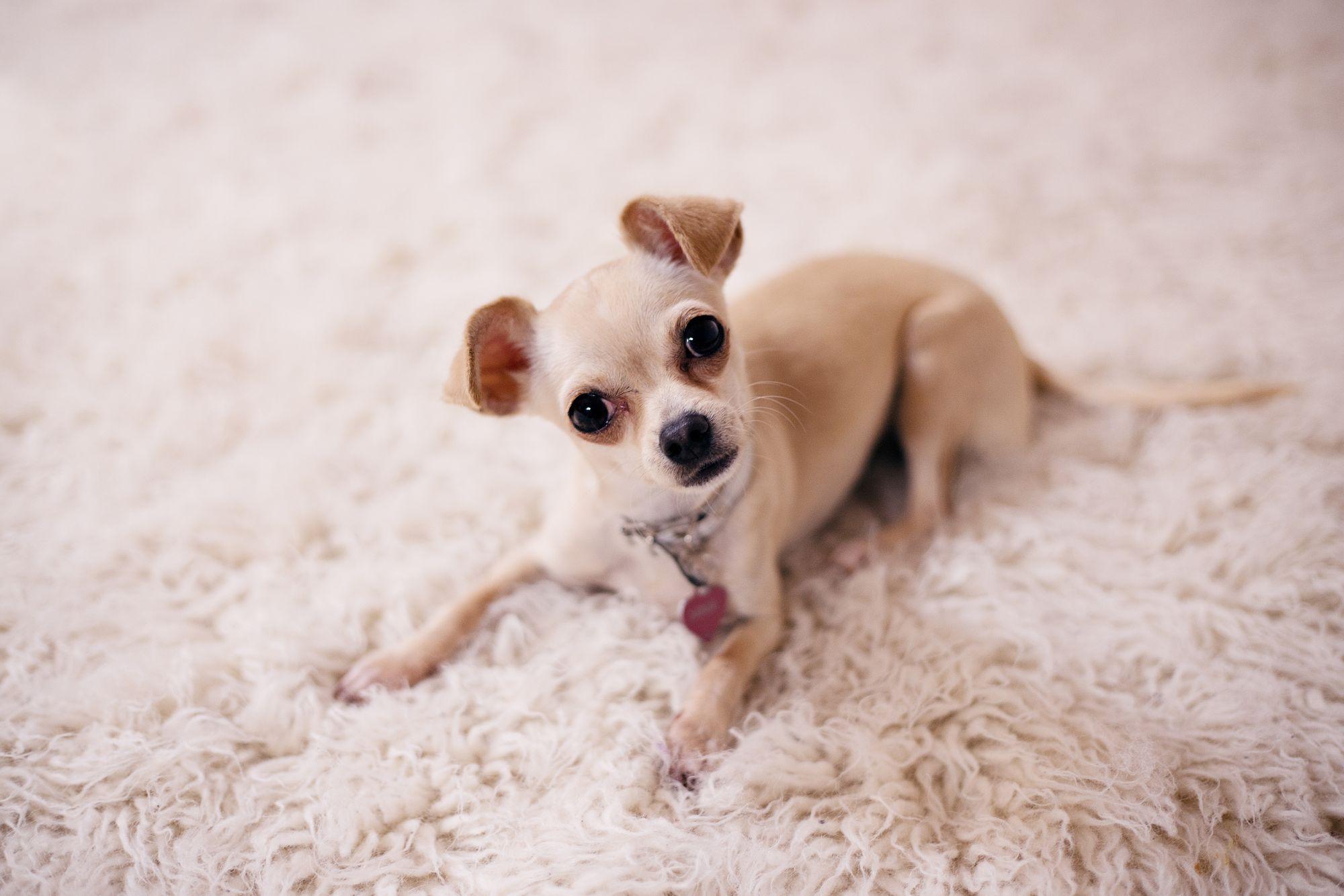 Chihuahua-lifespan