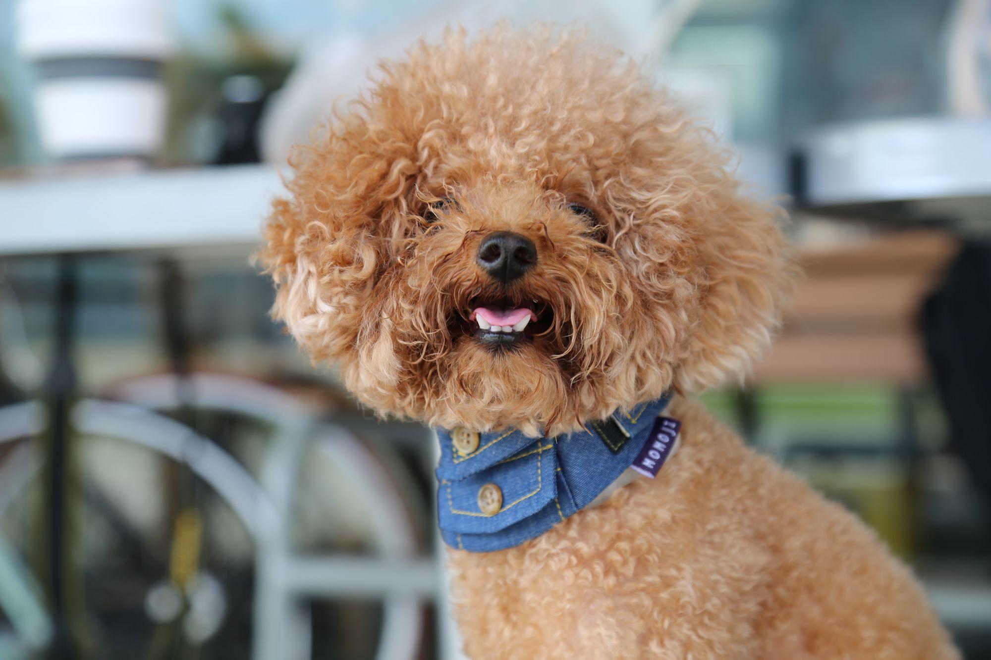 toy-poodle-lifespan-unsplash-source