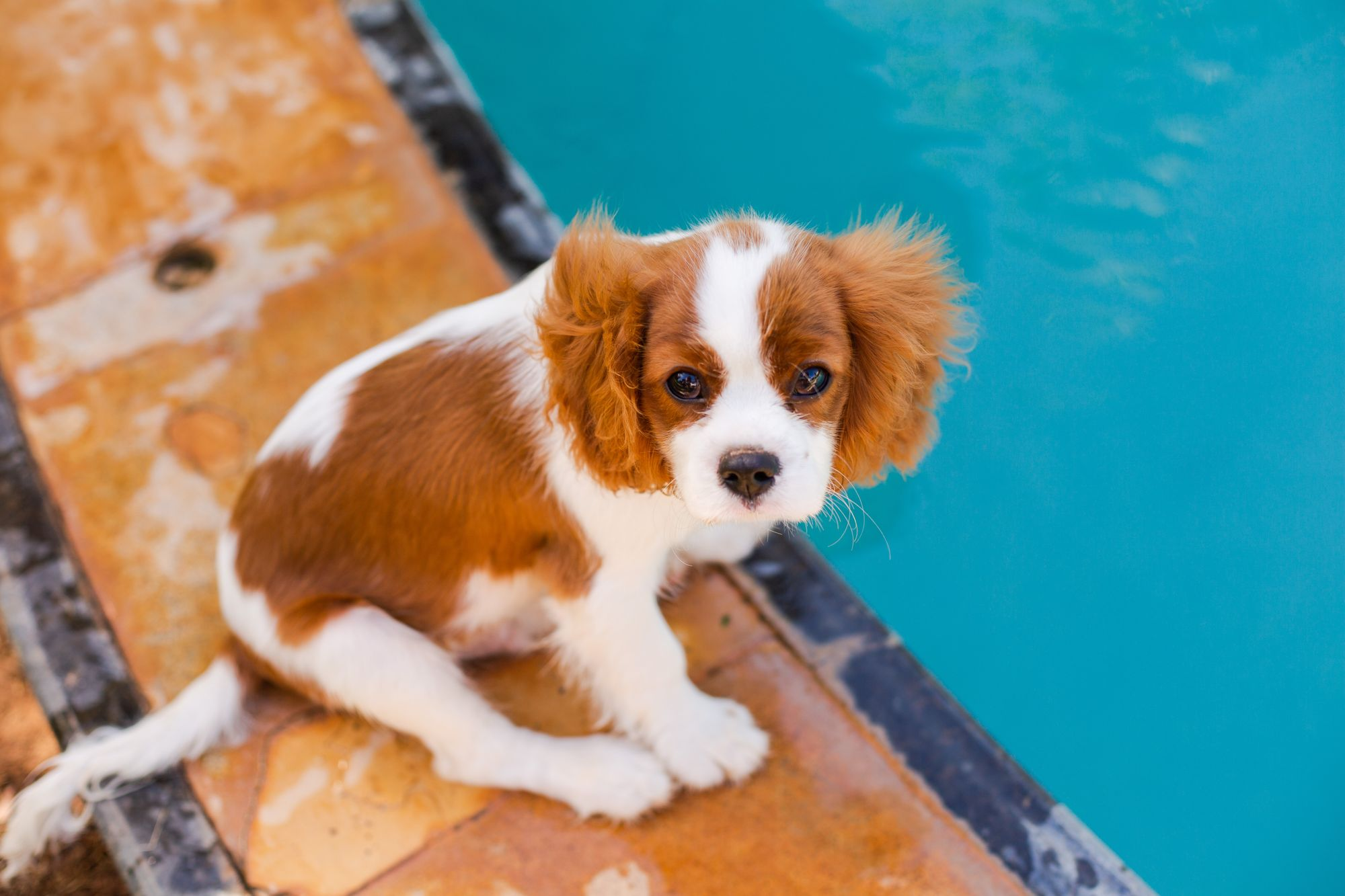cavalier-king-charles-spaniels-affectionate-dog-unsplash-source
