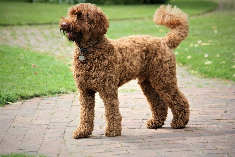 labradoodle-curly-haired-dog