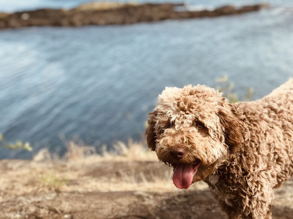 Lagotto-Romagnolo-curly-haired-dog