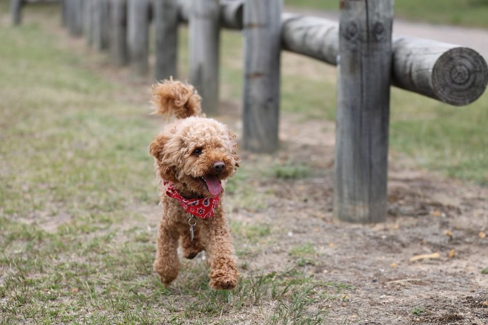 poodle-curly-haired-dog