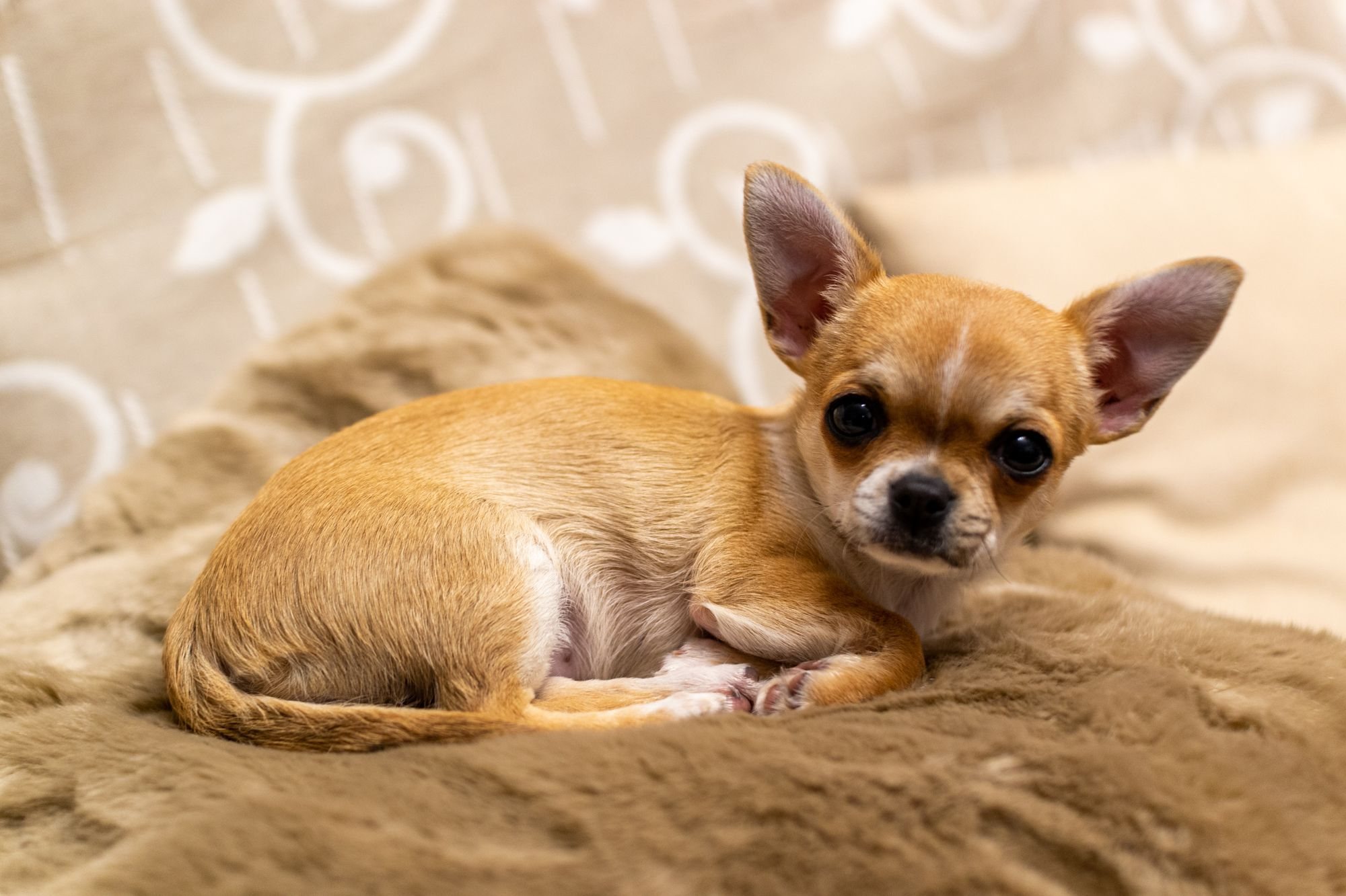 chihuahua-smallest-dog-breed
