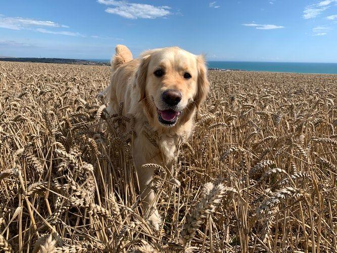 golden retreiver popular dog breed