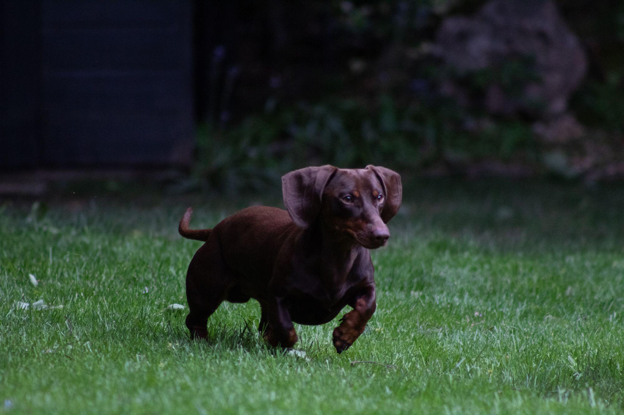 Dachshunds-aggresive-dog-breed
