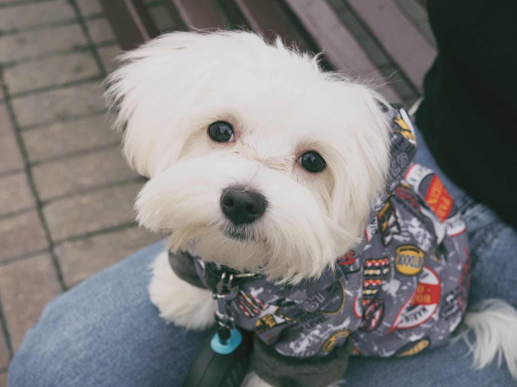 maltese-small-dog-breed