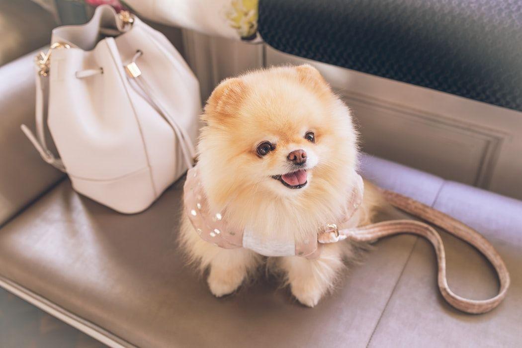 pomeranian-small-dog-breed