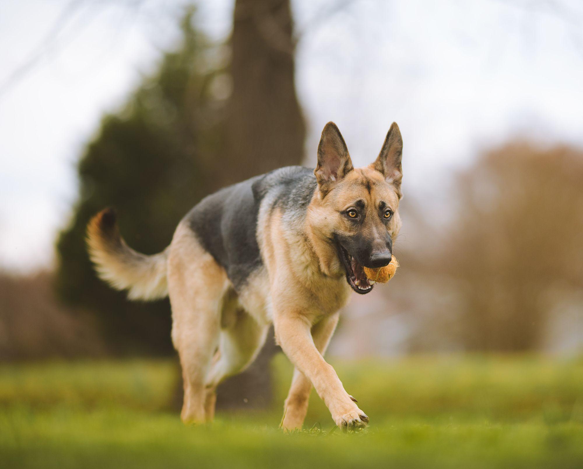 german-shepherd-aggressive-dog-breed