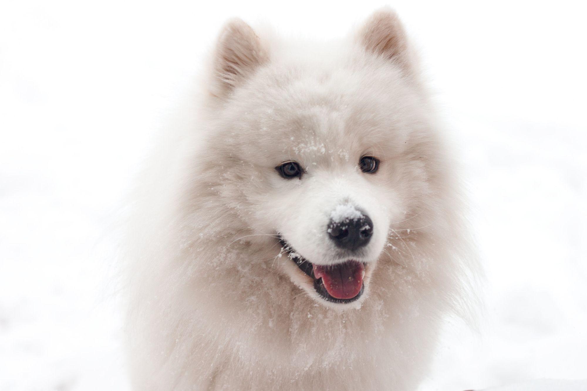 samoyed-fluffiest-white-dog-breed
