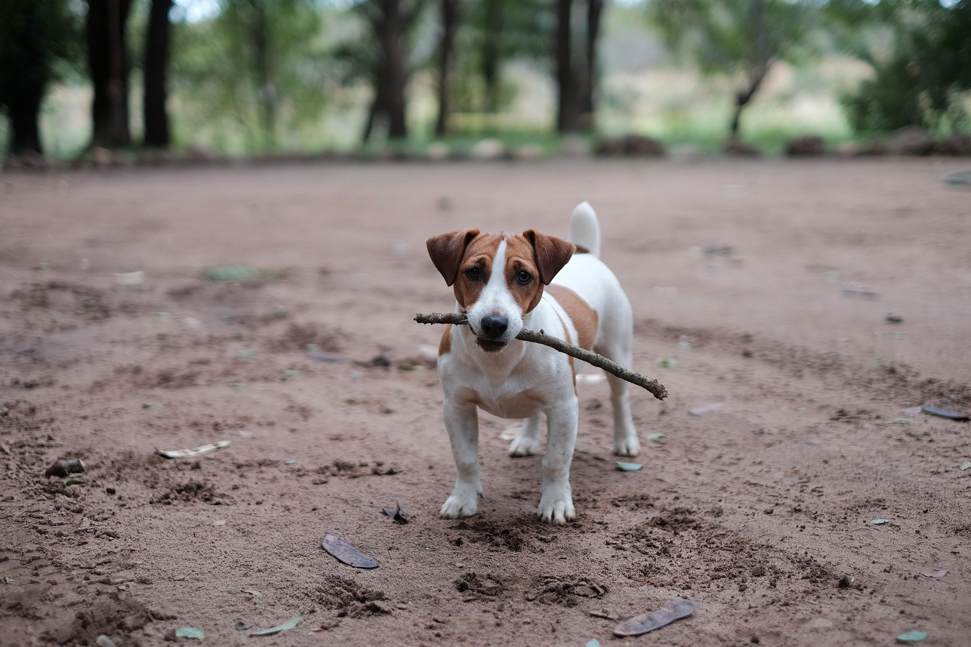 Small energetic dog breed- jack russel terrier